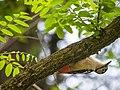 Himalayan Woodpecker (14526347826).jpg