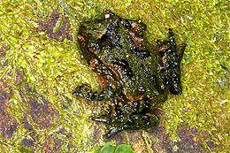 Hochstetters Frog on Moss.jpg
