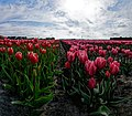 Hollands Kroon - 't Veld - Zwarteweg - Panorama View on Tulips 4.jpg