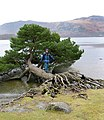 Horizontal tree - geograph.org.uk - 726849.jpg