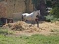 Horses, close to the Lutheran Church, 2016 Bonyhad.jpg