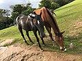 Horses at Ooty, Tamil Nadu, India.jpg