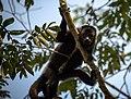 Howler Monkey, Chiapas, Mx (29725017206).jpg