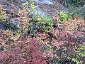 Huckleberry bush in fall colors. (beb3b11a66ae42bfa814e91c5e7037be).JPG