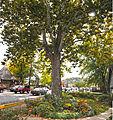 Huge Tree (6236526276).jpg