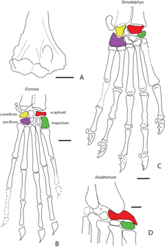 Humerus and carpi of Cretaceous metatherians - ZooKeys 465-11.png