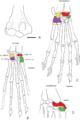 Humerus and carpi of Cretaceous metatherians - ZooKeys 465-11.png