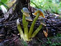 Humidicutis marginata var. olivacea (A.H. Sm. & Hesler) Singer 557776.jpg