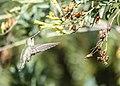 Hummingbird (27580759549).jpg