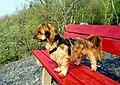 Hundi, Yorkshire Terrier groß.jpg