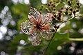Hydrangea anomala petiolaris 7zz.jpg