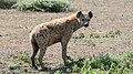 Hyena near Ndutu Lodge, Serengeti (16847282167).jpg