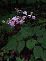 Hylodesmum glutinosum - Pointed Leaf Ticktrefoil.jpg
