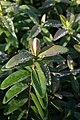 Hypericum calycinum 2zz.jpg