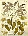 Icones plantarum medico-oeconomico-technologicarum cum earum fructus ususque descriptione = (Tab. 124) (8096979430).jpg