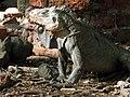 Iguana delicatissima au sol.JPG