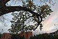 Il ramo vivo al tramonto.jpg