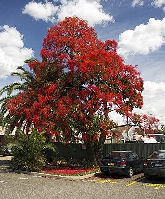 Brachychiton acerifolius - Image: Illawarra Flame Tree (Brachychiton acerifolius)