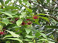 Illicium floridanum (18154411505).jpg