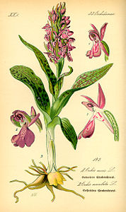 Illustration Orchis morio0.jpg