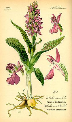 Dactylorhiza maculata subsp. maculata
