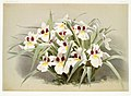 Illustration from Reichenbachia Orchids by Frederick Sander, digitally enhanced by rawpixel-com 069.jpg