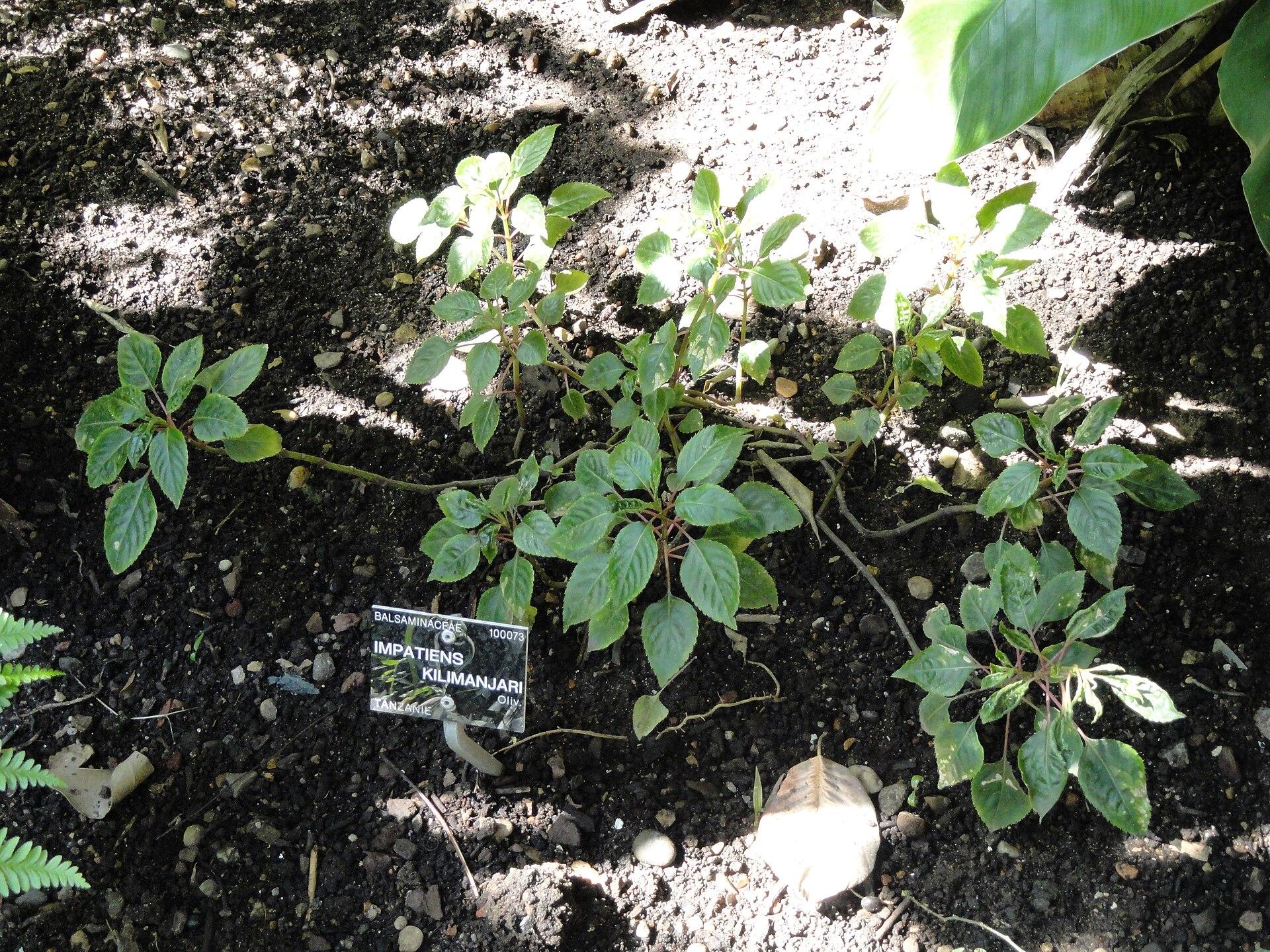 Impatiens kilimanjari wikipedia for Bal des citrouilles jardin botanique
