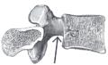 Incisuravertebralis.png