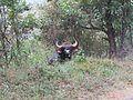 Indian Bison .jpg