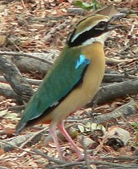 Indian Pitta Small