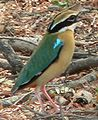 Indian Pitta Small.jpg