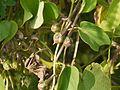 Ipomoea parasitica (Kunth) G. Don (4171294416).jpg