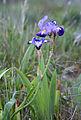 Iris April 2015-3.jpg