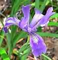 Iris douglasiana 1.jpg