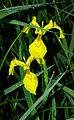 Iris pseudacorus - flower 03.jpg
