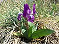Iris pumila sl21.jpg