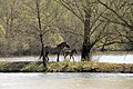 Is there a route here^^ Mother Konik horse with child at Meinerswijk Arnhem - panoramio.jpg
