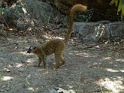 Isalo - Eulemur rufifrons.jpg