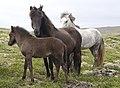 Islandshästar-2 - Flickr - Ragnhild & Neil Crawford.jpg