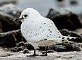 Ivory Gull. Pagophila eburnea. Ísmáfur.jpg
