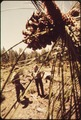 JOHN KRUSE AND JOE TANSKI OF THE U.S. FOREST SERVICE INSPECT A FIVE-ACRE SITE WHICH HAS BEEN CHOSEN, - NARA - 542602.tif