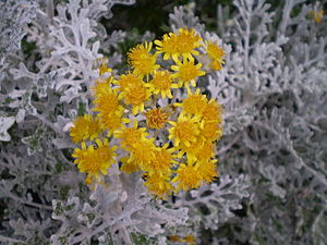 Jacobaea maritima - J. maritima 'Silverdust', a cultivar selected for its dense silvery tomentum.