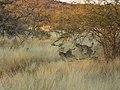 Jagende Geparden.JPG
