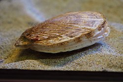 Japan sea animal, Ezo giant scallop (Mizuhopecten yessoensis) (15152229484).jpg