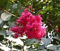 Japanese Crepe Myrtle, Crape Myrtle 'Tuscarora' (Lagerstroemia x fauriei).jpg