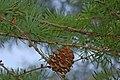 Japanese Larch Larix kaempferi Cone Branch 3008px.jpg