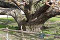 Jardin-Plantes-Prunus-shirotae 02.JPG