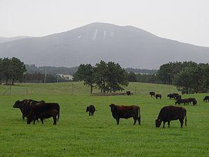 Jeju Black - Jeju Black Cattle grazing