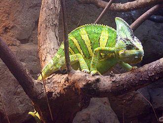 Veiled chameleon - Image: Jemenchamäleon Chamaeleo calyptratus
