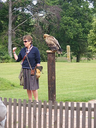 International Centre for Birds of Prey - Jemima Parry-Jones with an Indian Tawny Eagle (Aquila rapax)